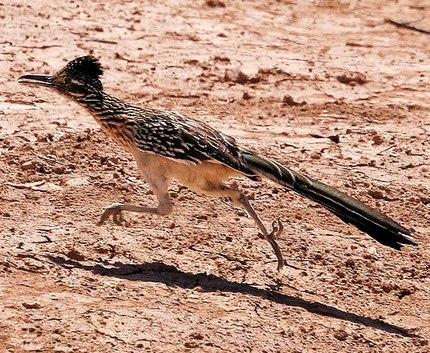 トカゲやサソリ、ヘビも捕食するアグレッシブさ。食生活的には猛禽ですな